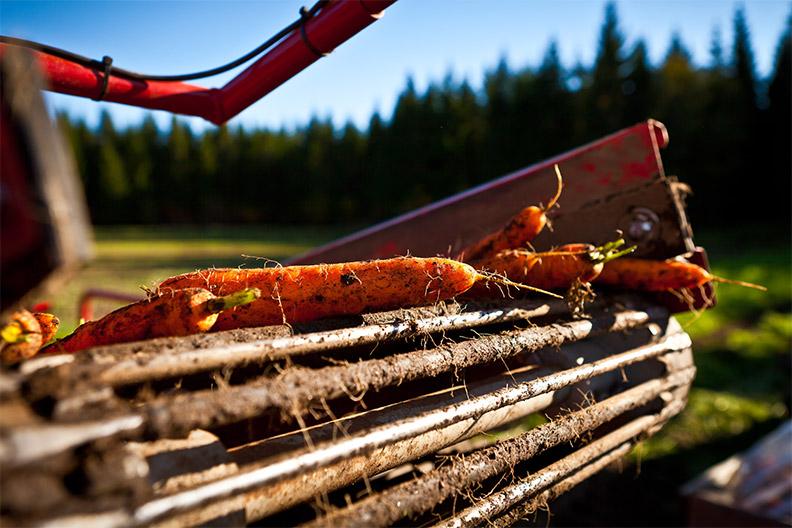 Kuvassa porkkanoita nostokoneen telan päällä. Luomuporkkanan viljelyä on kehitetty Etelä-Savossa, ja maakunta onkin nykyisin merkittävä luomuporkkanan tuotantoalue. Kuva: Manu Eloaho/Darcmedia